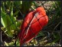 Ibis rouge 1
