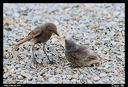 Rougequeue nourrissant son petit hors du nid