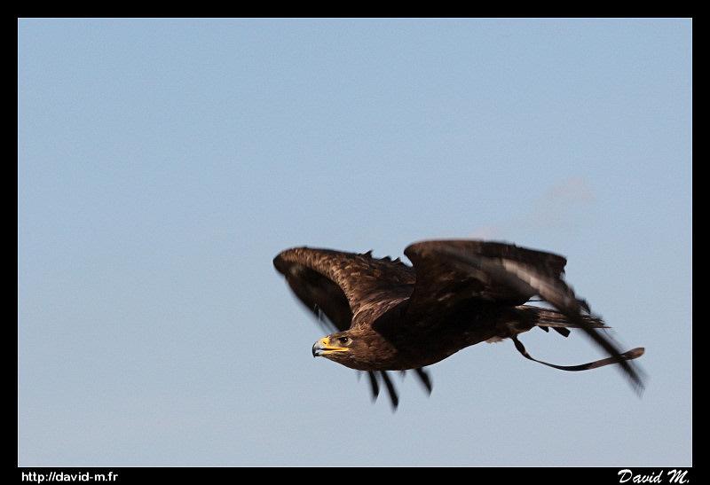 Rapaces au sol et en vol... Pour le plaisir des yeux! :) Aigle_ravisseur_2